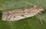 Phycitodes albatella 06 3