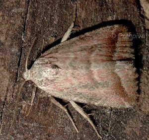 Phyllophila obliterata 2