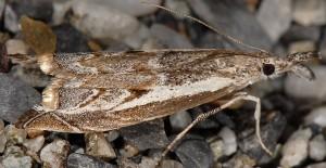 Platytes alpinella 06 1