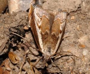 Platytes alpinella 84 1