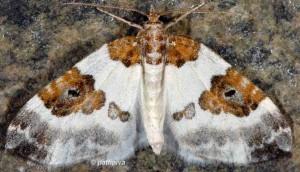 Plemyria rubiginata 38 1