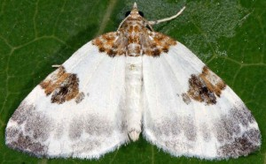 Plemyria rubiginata 38 2