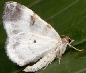 Plemyria rubiginata 38 3