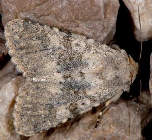 Polymixis dubia 1