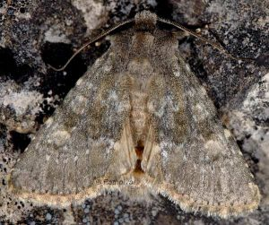 Polymixis dubia 2