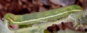 Polymixis flavicincta L5 1