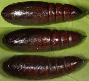 Polymixis (Polymixis) flavicincta (Denis & Schiffermuller, 1775)