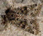 Polymixis lichenea (I)