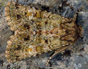 Polymixis lichenea 2