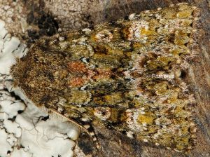 Polymixis lichenea 3