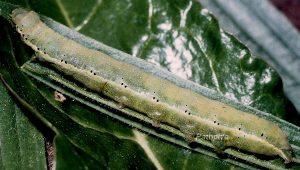 Polymixis rufocincta L5