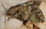 Polyphaenis sericata (I)