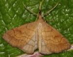 Polypogon gryphalis (I)