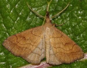 Polypogon gryphalis