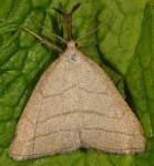 Polypogon tentacularia (I)