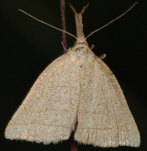 Polypogon tentacularia 3
