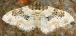 Protorhoe corollaria 66 1