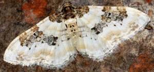 Protorhoe corollaria 66 3