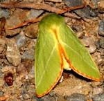 Pseudoips prasinana (I)