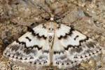 Pseudoterpna corsicaria 2B 3