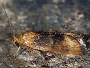 Pterothrixidia rufella 06 1