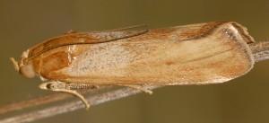 Pterothrixidia rufella forme impurella 30
