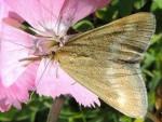 Pyrausta aerealis 06 1