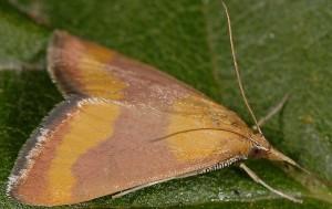 Pyrausta castalis 06 1