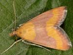 Pyrausta castalis 06 2
