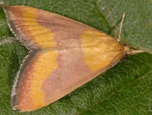 Pyrausta castalis 06 3
