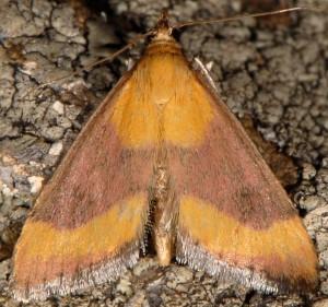 Pyrausta castalis 06 4