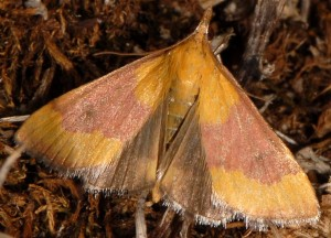 Pyrausta castalis 06 5