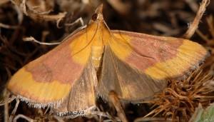 Pyrausta castalis 06 6