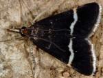 Pyrausta cingulata 26 1