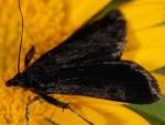 Pyrausta coracinalis 06 3