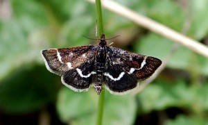 Pyrausta nigrata 06 1