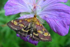 Pyrausta purpuralis 06 1