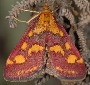 Pyrausta purpuralis 06 2