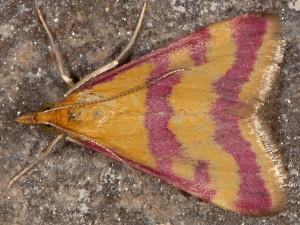 Pyrausta sanguinalis 06 1