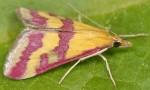 Pyrausta sanguinalis 66 1