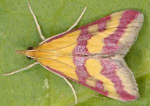 Pyrausta sanguinalis 66 2