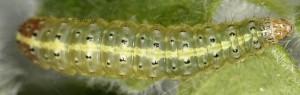 Pyrausta sanguinalis L5 66 3