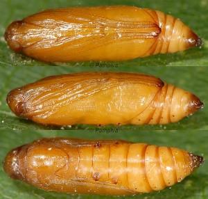 Pyrausta sanguinalis chrysalide 66 1