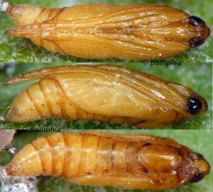 Pyrausta virginalis chrysalide 34 1