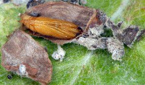 Pyrausta virginalis cocon 34 1