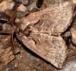 Rhegmatophila alpina (I)