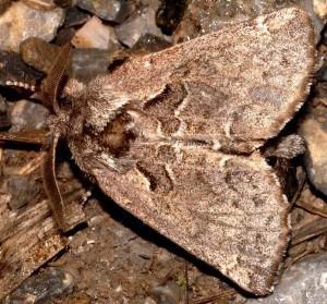 Rhegmatophila alpina 1