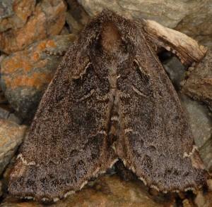 Rhegmatophila alpina 2