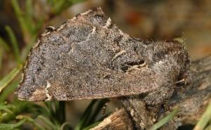 Rhegmatophila alpina 3