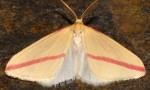 Rhodometra sacraria 66 1